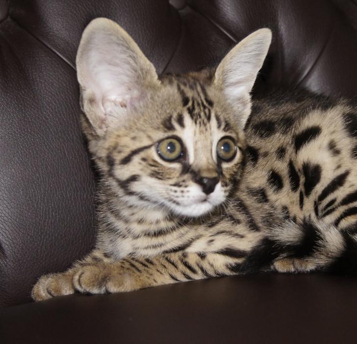 almasi savannahcats rassekatzenzucht savannah start navigation. Black Bedroom Furniture Sets. Home Design Ideas